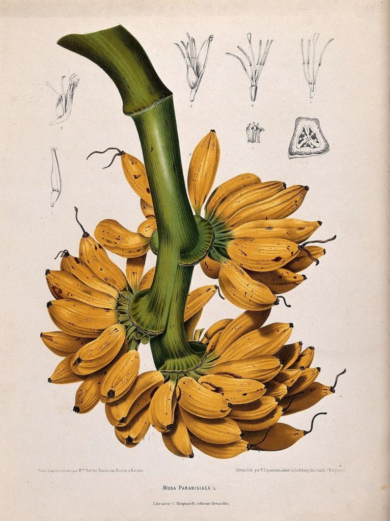 Kristin Holt | Victorian America's Banana Bread. Image: A 1863 Dutch lithograph of a Gros Michel banana bunch. G. Sévereyns/Wikimedia Commons