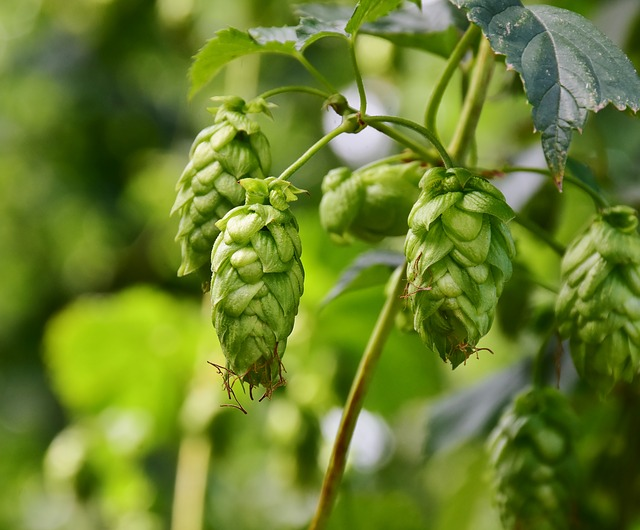 Kristin Holt | DIY Yeast in Victorian America. Photograph of hops, courtesy of RitaE from Pixabay.
